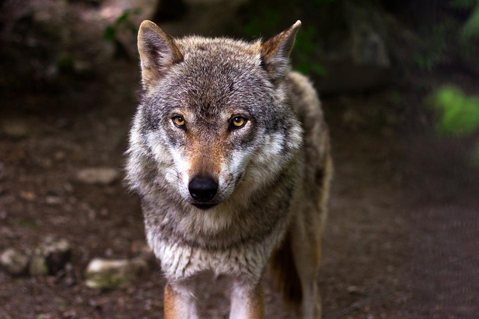 """Attacchi di lupi agli allevamenti, Comune di Nardò: """"Ma nessun pericolo per l'uomo"""""""